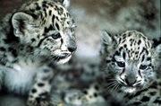 snow_leopard.jpg